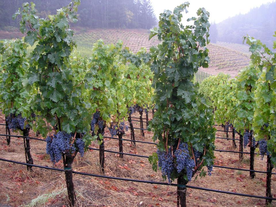 grape-napa-measure c